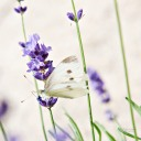 If all thoughts could be as beautiful as this butterfly on the lavender.