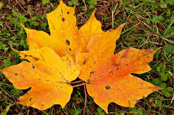 Golden Maple Leaf Trio