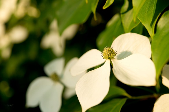 Dogwood at Sunset