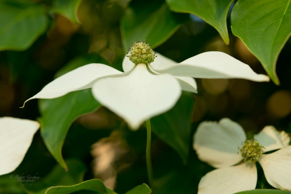 Dogwood Strong and Proud