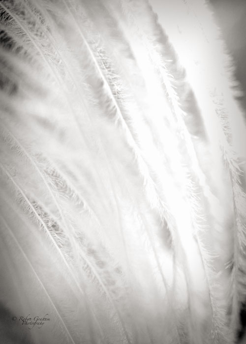 Curtain of Feathers